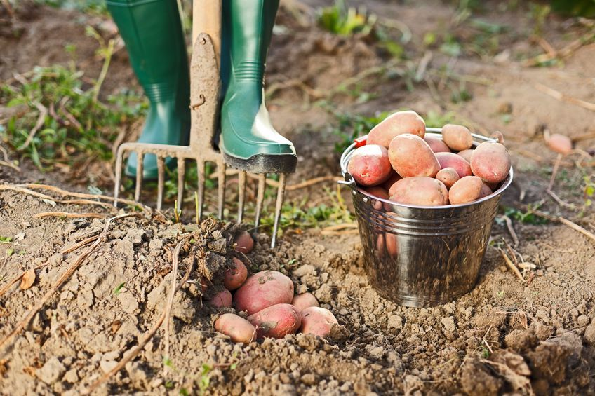 Pick your own spuds in St Albans