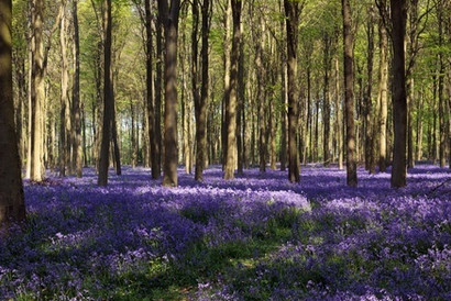 Bluebell woods in Surrey…