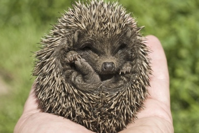 Hedgehogs – they need you!