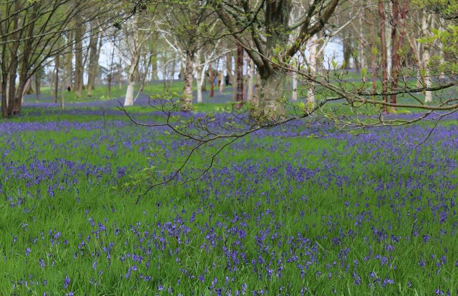 Surrey, abundant with blue bells this spring